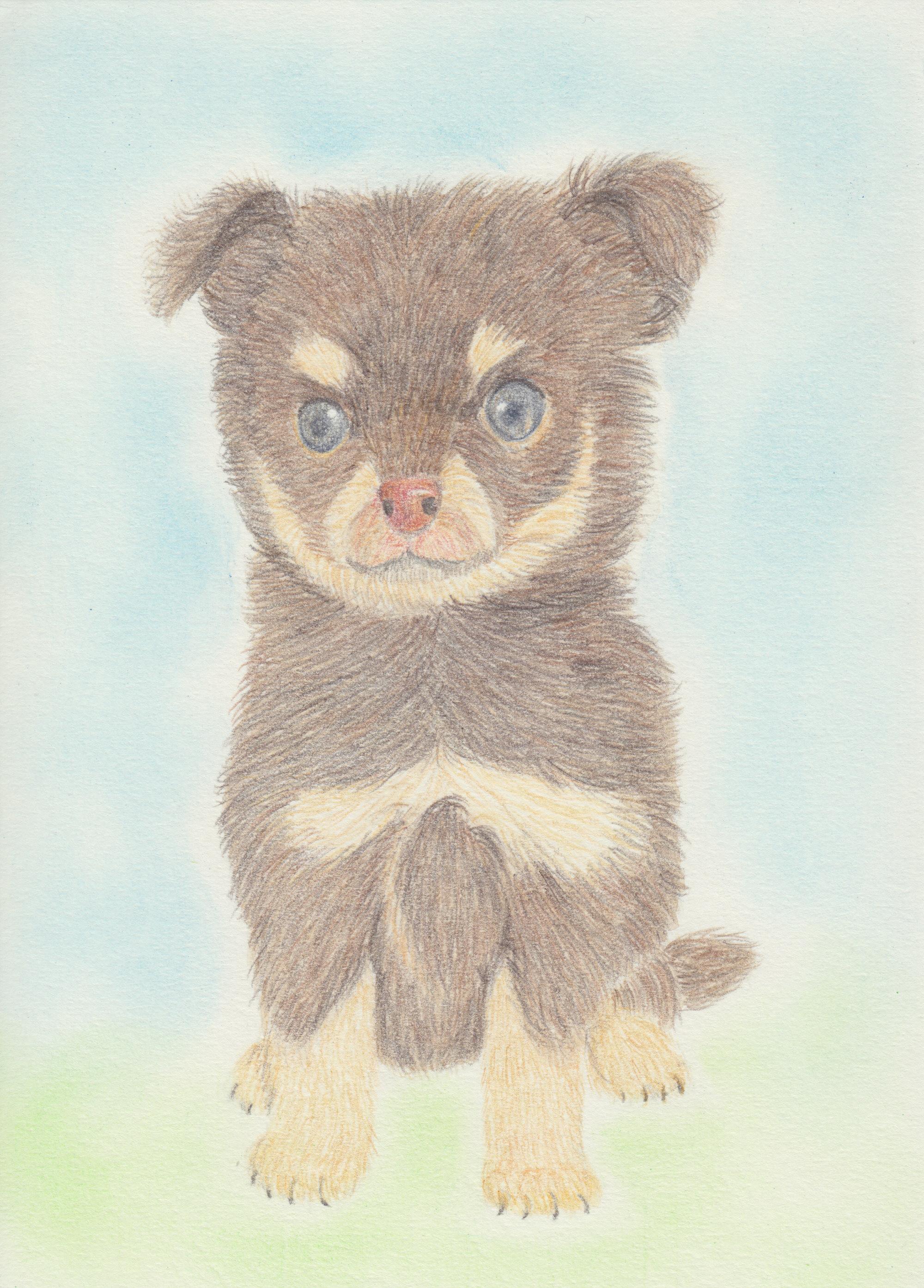 チワワ(チョコタン)子犬